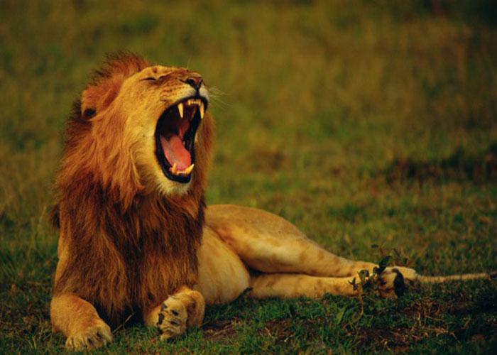 इटावा: 4 दिन से खाना छोड़ने के बाद शेर (विष्णु) की मौत, पहले ही मर चुकी है शेरनी