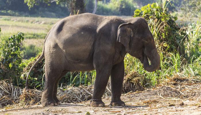 हाथी ने पूर्व सरपंच को कुचला