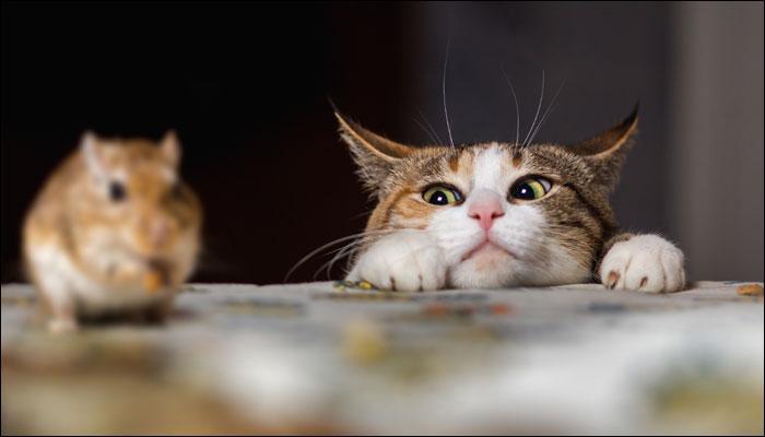बिल्ली के साथ रहने से नहीं होता है मानसिक विकार का खतरा: अध्ययन