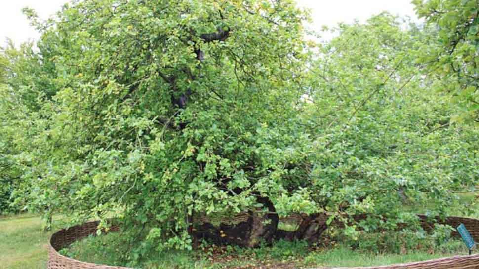 भारत में फिर से दिखेगा न्यूटन के सेब का पेड़, इस शहर में हो रही तैयारी