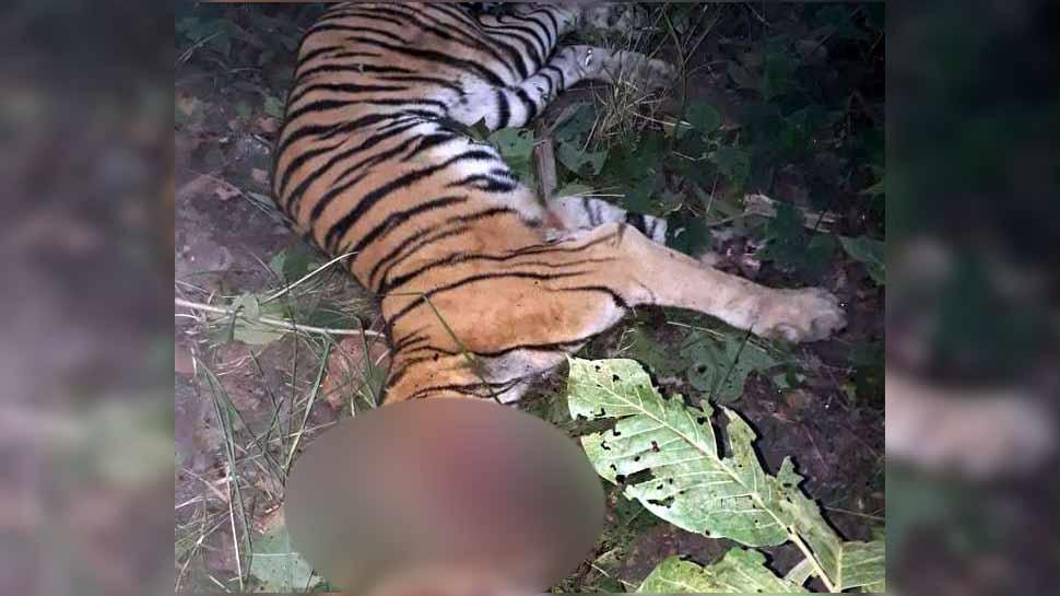 लखीमपुर खीरी: नरभक्षी हो रहा था बाघ, ग्रामीणों ने उतार दिया मौत के घाट