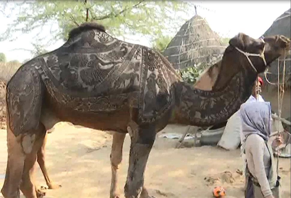 International Camel Festival, Bikaner, Rajasthan News