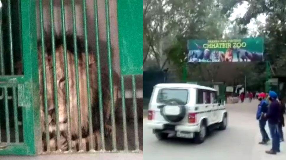 पंजाब: दीवार फांदकर चोरी-छिपे लॉयन सफारी में घुसा युवक, बब्बर शेर ने मार डाला