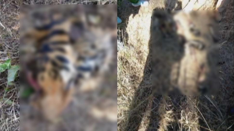 MP: कान्हा नेशनल पार्क में बाघ ने की बाघिन की हत्या, चबा-चबा कर खा गया शव