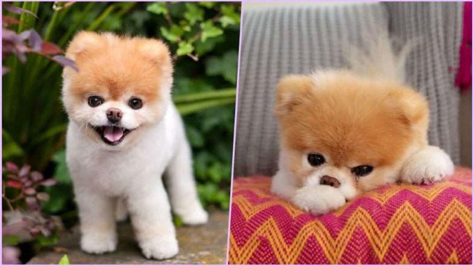 दिल टूटने की वजह से 'दुनिया के सबसे प्यारे कुत्ते' की मौत, फेसबुक पर हैं 1.6 करोड़ Followers