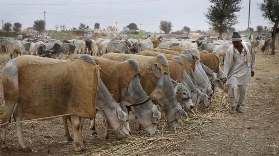 मुजफ्फरनगर में दो दिन में 100 से अधिक गायों की मौत, शासन से लेकर प्रशासन तक मचा हड़कंप