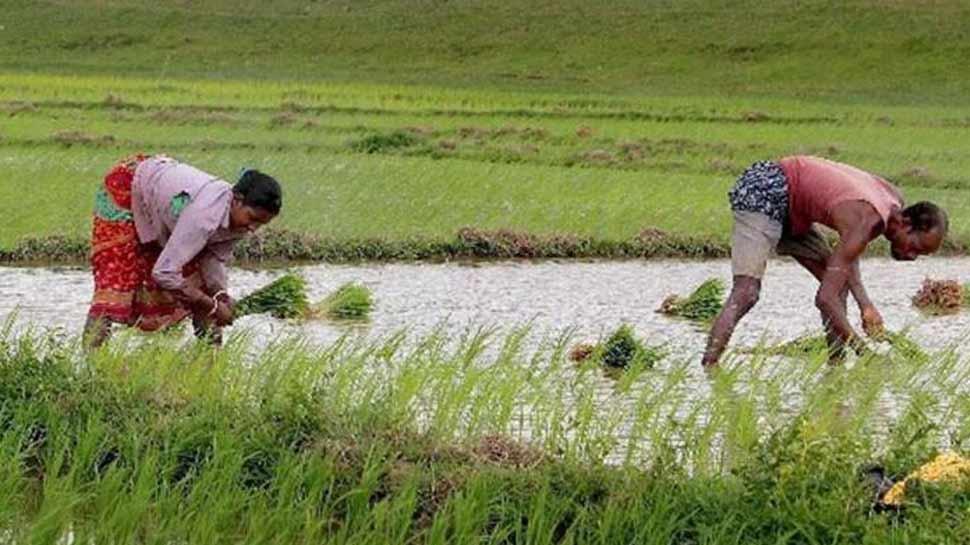 चावल की खेती को अब देसी शराब का सहारा, फसल को कीड़ों से बचाने के लिए किया उपाय