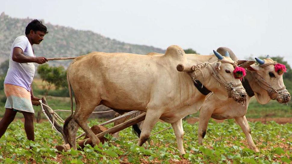 राजस्थान: गहलोत सरकार का आदेश, 15 मार्च से होगी सरसों, चना, गेंहू की खरीद