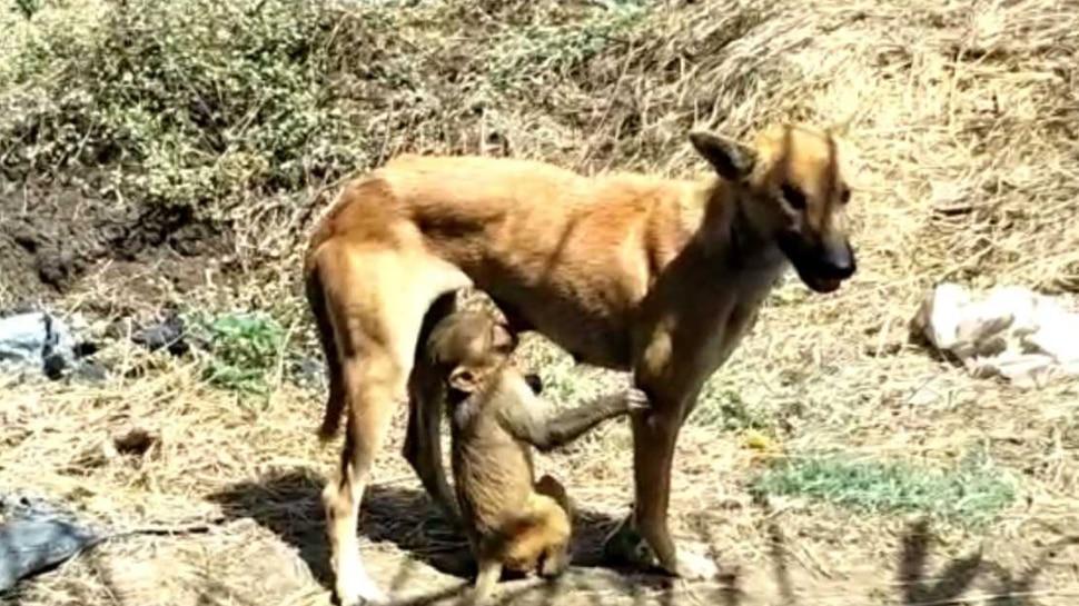 VIDEO: MP में दिखा मां-बच्चे का अनोखा रिश्ता, जानिए, बंदर के बच्चे को क्यों पाल रहा है यह जानवर...
