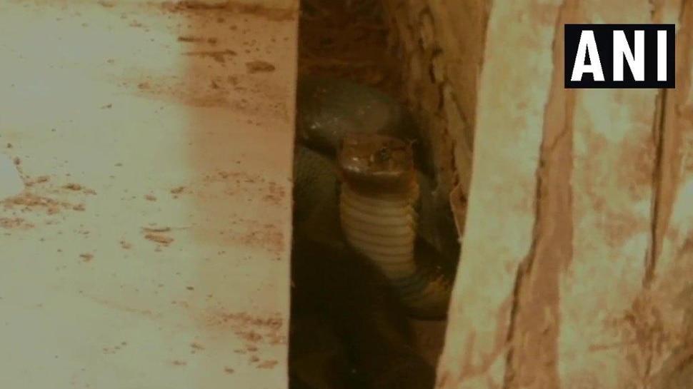 OMG! घर में छिपकर बैठा था इतना खतरनाक किंग कोबरा, देखते ही मच गया कोहराम