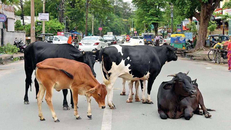 जयपुर को आवारा पशुओं से मुक्त कराने को नगर निगम ने तैयार किया मोबाइल एप