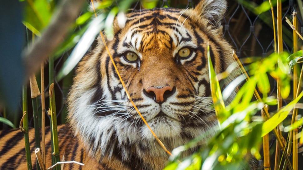 लकड़ी चुनने के लिए जंगल गई दादी-पोती पर बाघ ने किया हमला, दोनों की मौत