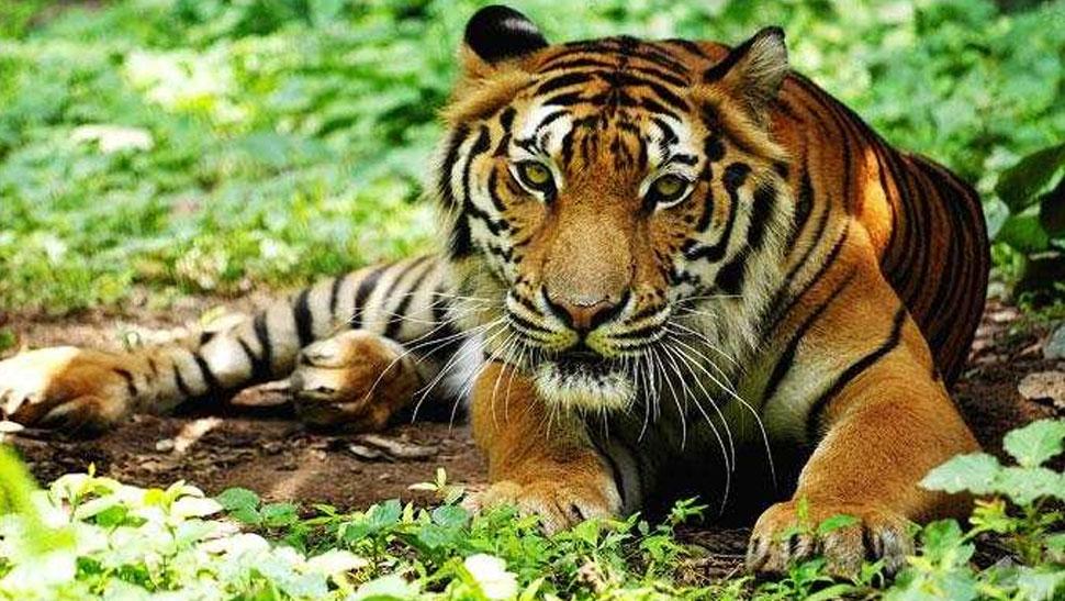 महाराष्ट्र के यवतमाल जिले में बाघ ने मजदूर पर बोला हमला, जख्मी