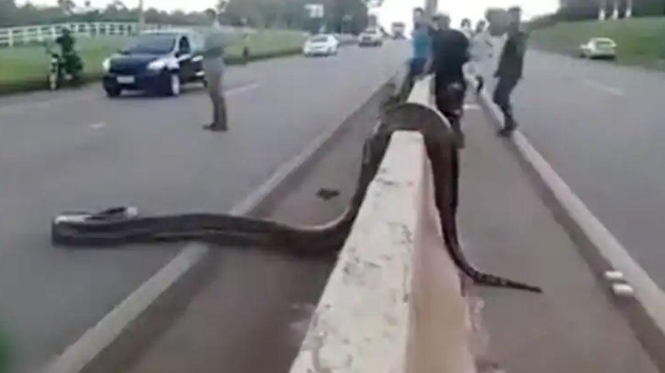 VIDEO: खाने की तलाश में सड़क पर निकला 30 किलो का सांप, थम गया ट्रैफिक और...