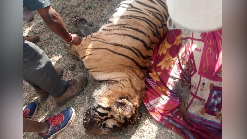 मध्य प्रदेशः सतना के मझगंवा रेंज में बाघ की मौत, वन विभाग ने जताई शिकार की आशंका