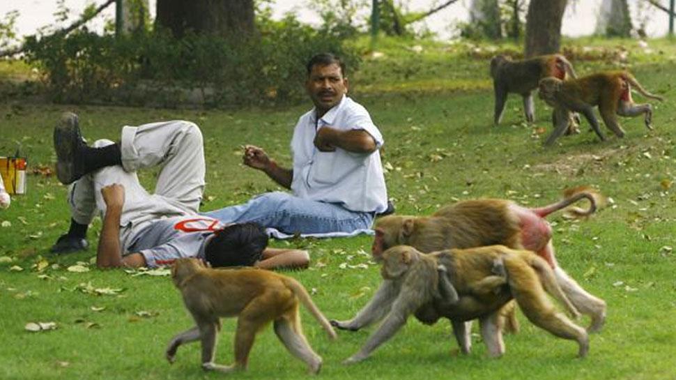 सीकर: बंदरों के आतंक से परेशान हो रहे लोग, नगरपालिका नहीं ले रही सुध