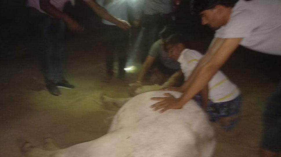 राजस्थान: जहरीली घास खाने से 64 गायों की मौत