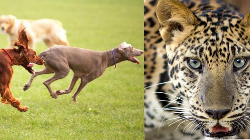 जंगल में कुत्तों ने तेंदुए को घेरा, VIDEO में देखिए किस बेरहमी से ले ली जान