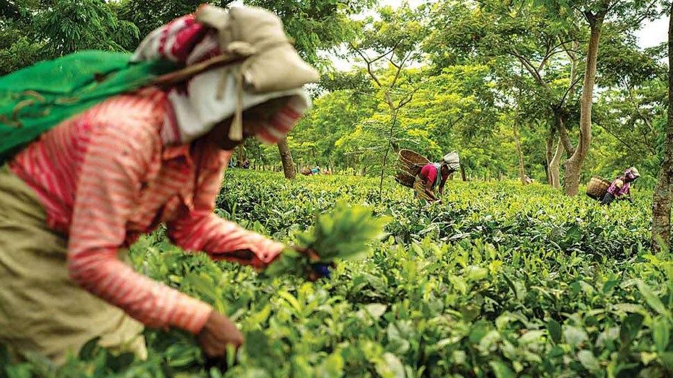 असम में एम जंक्शन ने ई नीलामी के लिए चाय बोर्ड के साथ किया एमओयू
