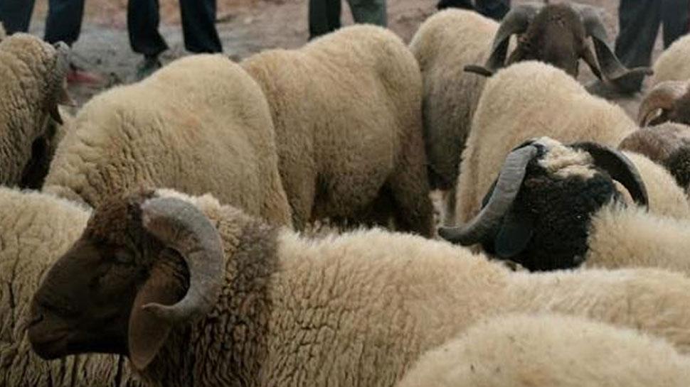 राजस्थान: राज्य सरकार ने 800 भेड़ डूबने के बाद मुआवजे की घोषणा की, मिलेगा 50 लाख