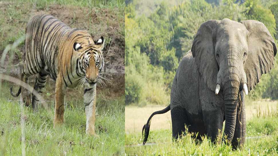 कॉर्बेट नेशनल पार्क में हाथियों को मार रहे हैं बाघ, केंद्र ने मांगी मामले की रिपोर्ट