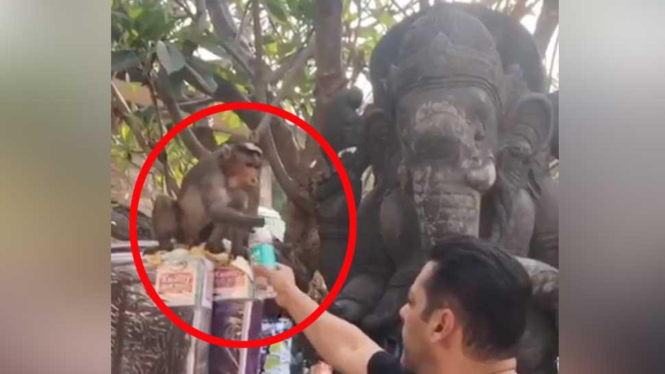 इस बंदर को छेड़ रहे थे सलमान खान, फिर जो हुआ- VIDEO देख हंसी नहीं रोक पाएंगे