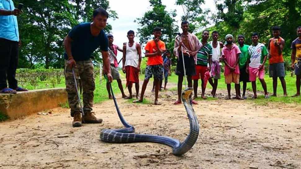 VIDEO: लोग खेत में कर रहे थे काम, अचानक सामने आ गया 14 फीट लंबा किंग कोबरा और फिर...