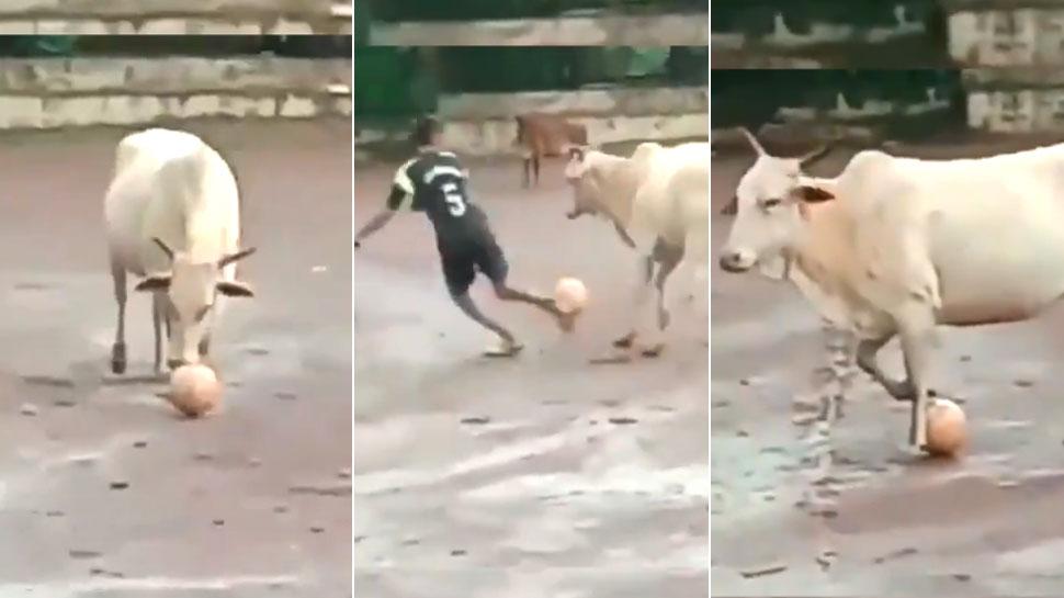 VIDEO: जब मैदान में घुसी गाय ने खेला फुटबॉल, दिखाए करतब; खिलाड़ी भी रह गए हैरान