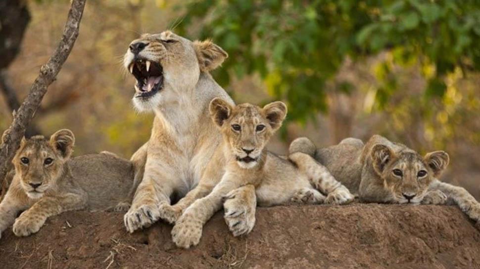 VIDEO: गिर में 7 शावकों के साथ देखी गईं दो शेरनी