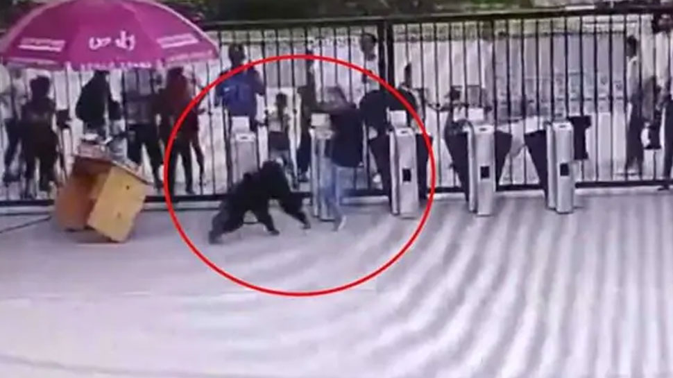 The chimpanzee was running away from the zoo, the people who came in front of this work, see VIDEO