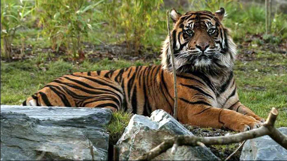 बाघों की आबादी बढ़ना UN के लक्ष्यों को पूरा करने के लिए 'अच्छा संकेत'