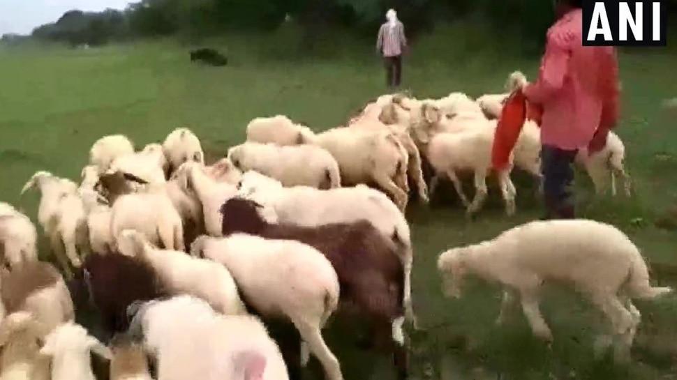 गोरखपुर में पति ने पत्नी के बदले लीं 71 भेड़ें और बीवी को कर दिया प्रेमी के हवाले