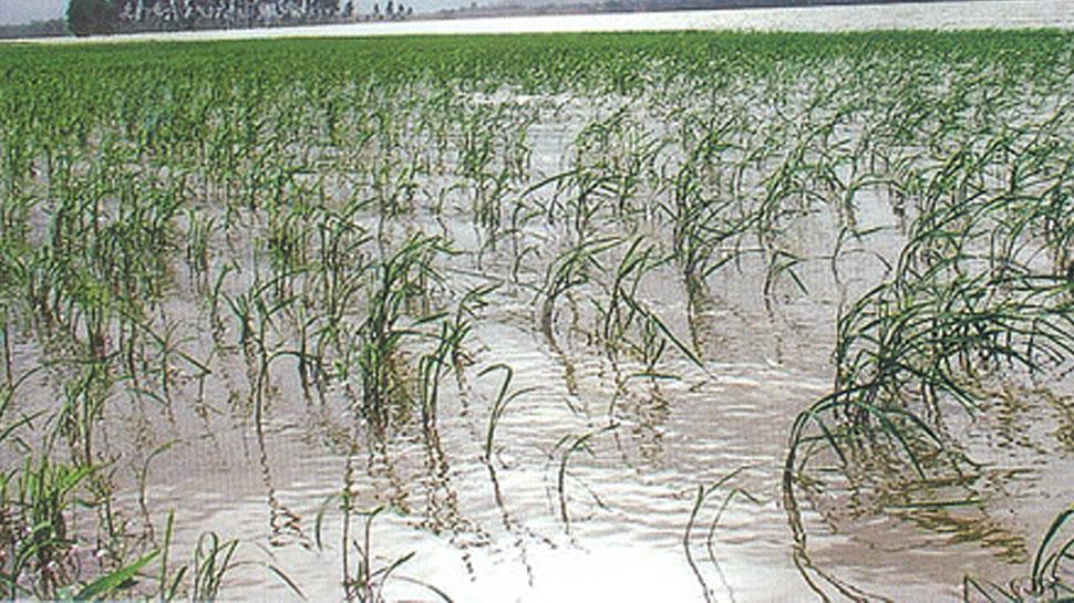 कोटा: भारी बारिश से हजारों बीघा की फसल बर्बाद, किसानों को हुआ करोड़ों का नुकसान