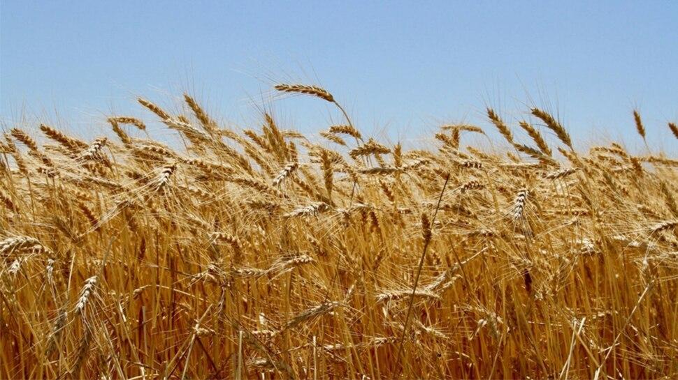 गेहूं के सर्वश्रेष्ठ उत्पादन के लिए बिहार को मिलेगा कृषि कर्मण पुरस्कार