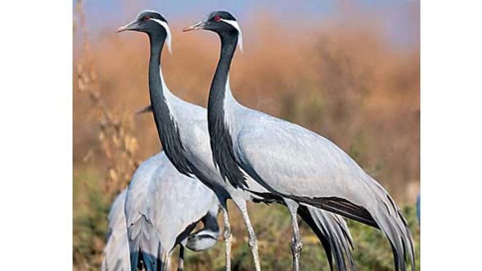 जैसलमेर: प्रवासी पक्षी 'कुरजां' के कलरव से गुंज रहा है खींचन, देखने के लिए उमड़ी भीड़