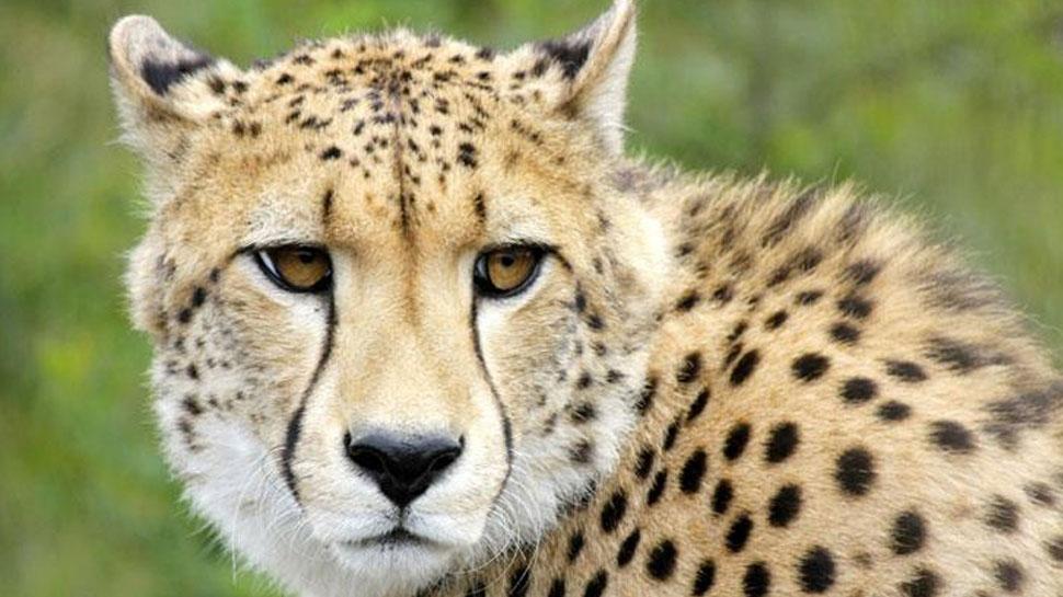 राजस्थान: वन विभाग ने पकड़ा आदमखोर चीता, कई लोग हुए थे शिकार