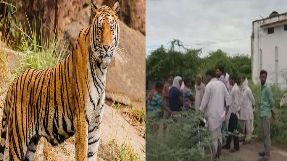 भरतपुर: रणथंभौर नेशनल पार्क के बाघ ने फिर किया एक चरवाहे पर हमला, मौत