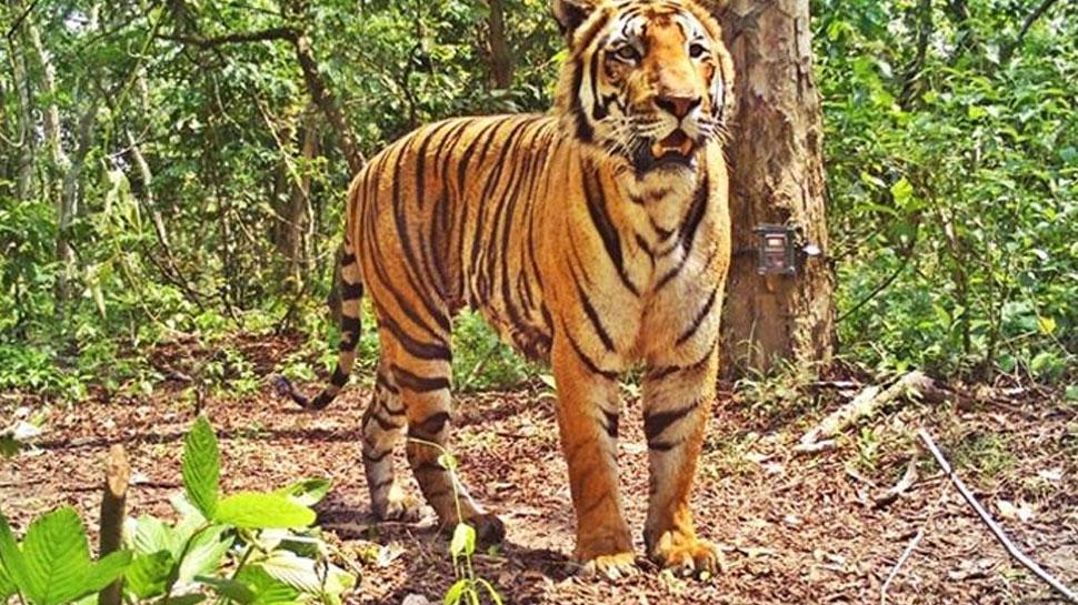 भरतपुर: रणथंभौर नेशनल पार्क के बाघ ने 24 घंटे में किया दूसरा हमला, मौत