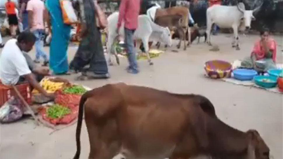बारां में आवारा पशु बने लोगों के लिए आफत, नगर परिषद बेखबर