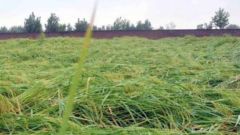 भरतपुर: भारी बारिश से बाजरे की फसल हुई तबाह, किसानों को मुआवजे की आस