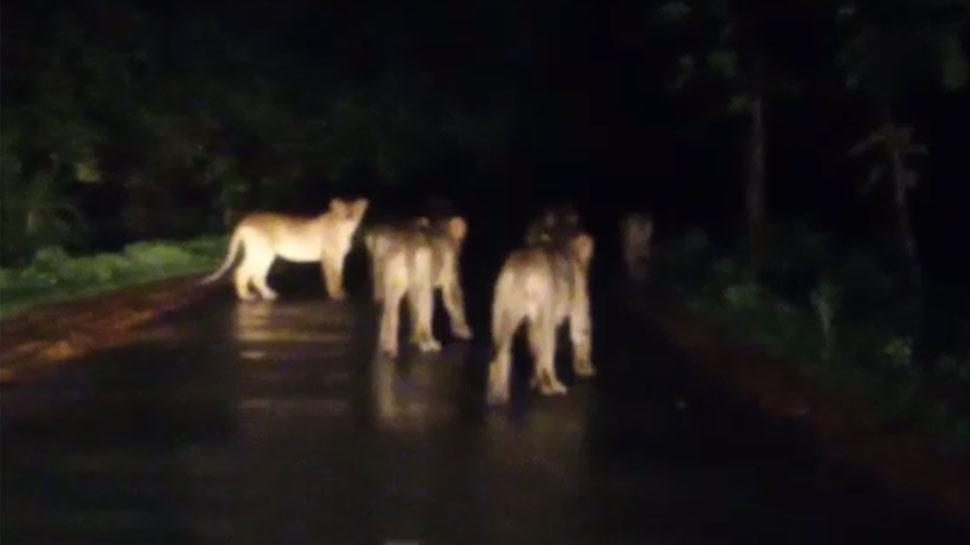 VIDEO: मच्छरों से तंग जंगल का राजा, बारिश में परिवार के साथ सड़क पर निकला