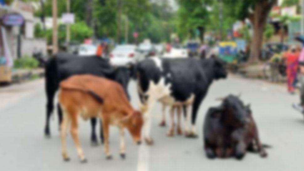 नगर परिषद की बाड़मेर को सौगात, दिवाली तक मिलेगी आवारा पशुओं से निजात