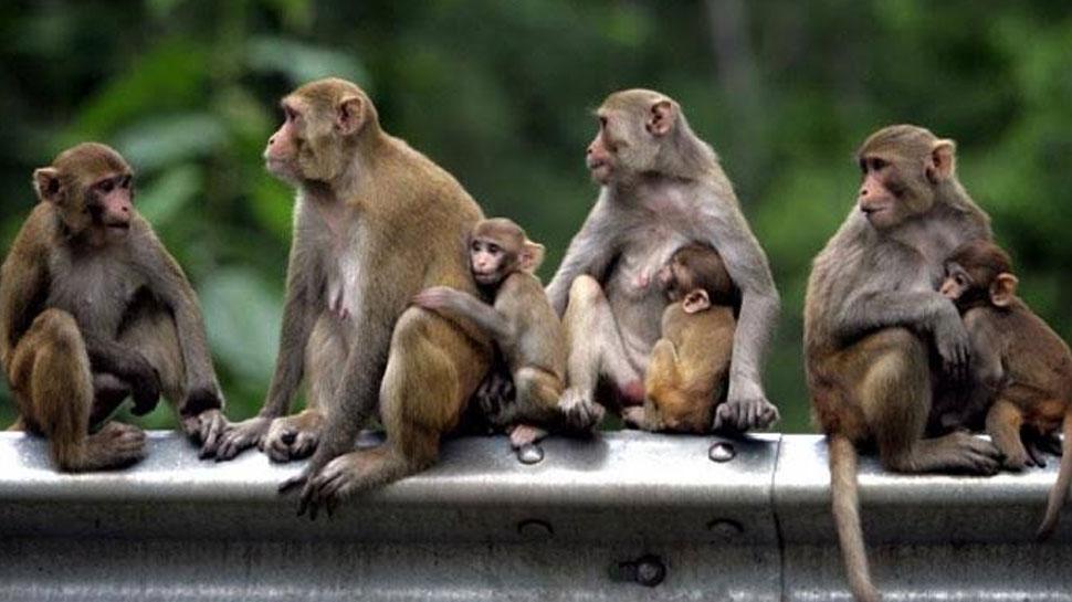 उत्तराखंड पंचायत चुनाव: मतगणना के दौरान बंदरों से निपटने के लिए बनाई गई गुलेल टीम