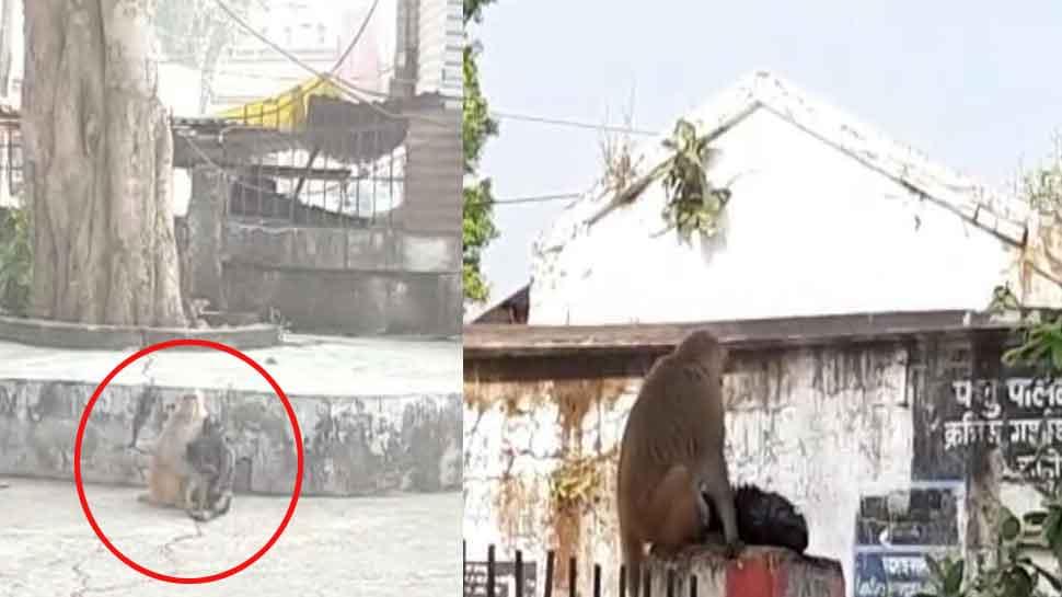 VIDEO: हाईटेंशन तार की चपेट में आया बंदर, साथियों ने बचाया, ले गए अस्पताल और फिर...