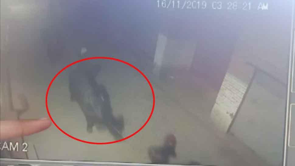 आजम खान के बाद अब चोरी हुई इस BJP नेता की दो भैंसें, CCTV में कैद हुए चोर