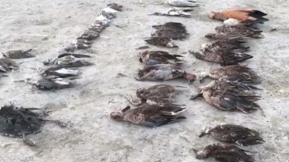 डीडवाना: 20 हजार के पार पहुंचा प्रवासी पक्षियों की मौत का आंकड़ा