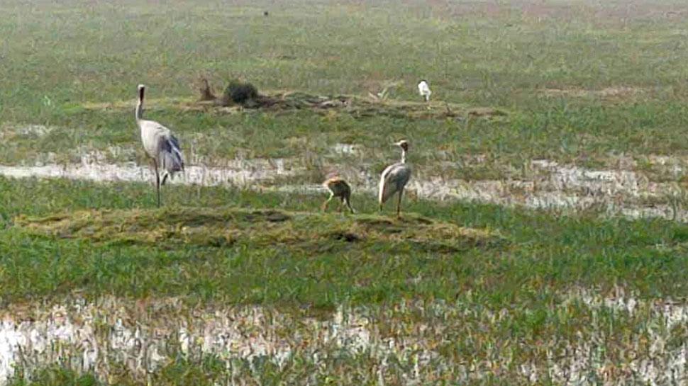भरतपुर: केवलादेव राष्ट्रीय उद्यान में सारस के बच्चे की मौत, सकते में घना प्रशासन