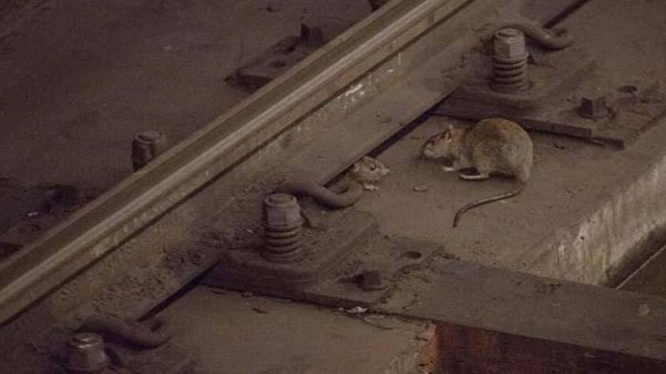 रुपये खर्च किए 1 करोड़ 52 लाख; चूहे मारे 5457, फिर भी रेलवे ने कहा- हम संतुष्ट हैं