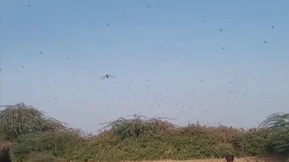 जालोर में टिड्डियों के आतंक से किसान परेशान