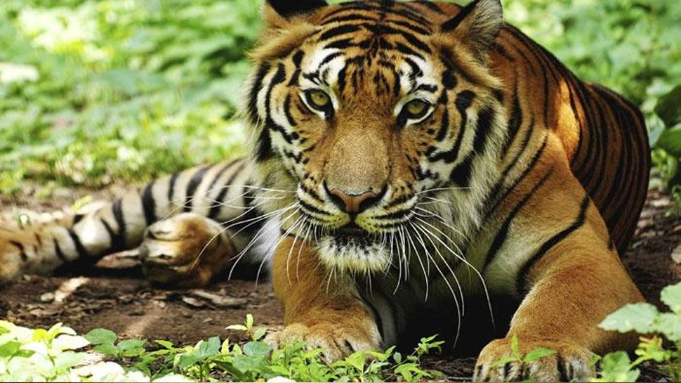 अलवर: ग्रामीणों के विस्थापन की सुस्त प्रक्रिया से बाघों पर लटक रही मौत की तलवार
